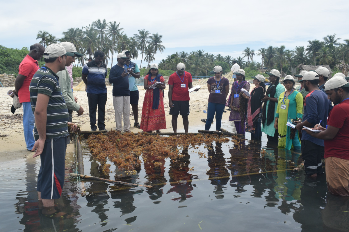 6.Hands on training: Cultivation and post harvesting techniques of seaweeds at  GoMBR,Tamilnadu by Dr M. Palanisamy